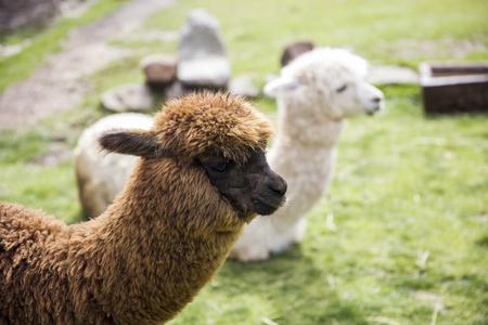 Cute little baby alpaca from Peru