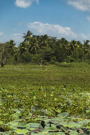Ninfee sulla zona umida vicino a Matara nello Sri Lanka Archivio Fotografico - 98984782