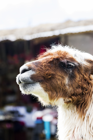 Head of lama on the street of Cusco, Peru