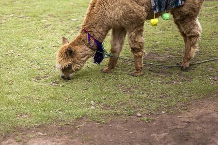 Cute little alpaca on the grass in Cusco, Peru