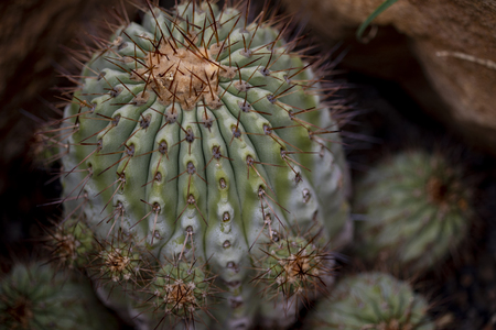 Closeup detail of cactus Copiapoa cinerea Stock Photo - 101807719
