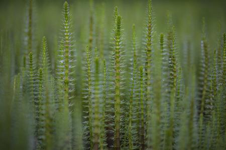 Mare's tail (Hippuris vulgaris) aquatic plant