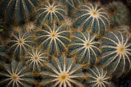 Detail of Balloon cactus (Parodia magnifica) Stok Fotoğraf