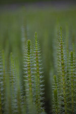 Mares tail (Hippuris vulgaris) aquatic plant