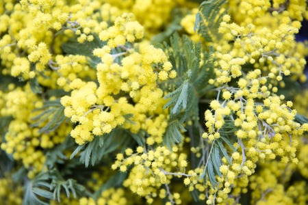 Close up view at mimosa spring flowers tree branch Standard-Bild
