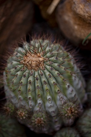 Closeup detail of cactus Copiapoa cinerea Stock Photo