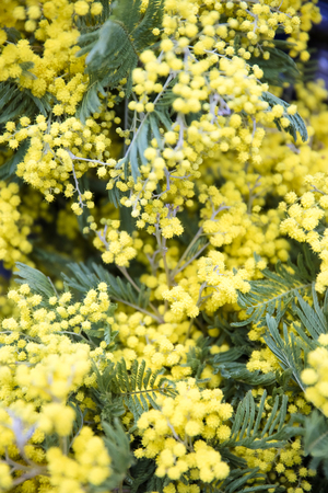Close up view at mimosa spring flowers tree branch Stock Photo