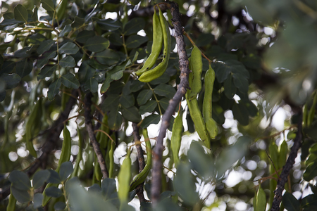 Close up detail of the carob tree