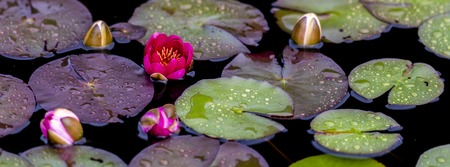 Closeup of the Nymphaea waterlilies in the pond