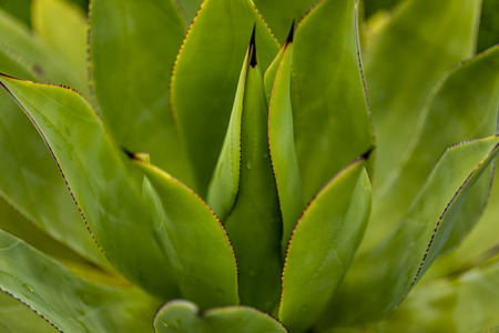 Closeup detail of the Agave goeppertiana plant