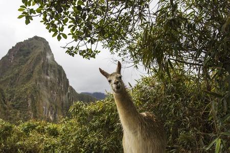 View at llama at Machu Picchu in Peru
