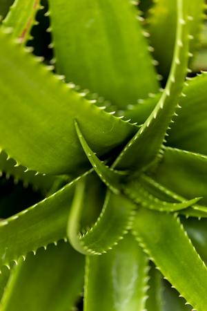 Detail of Aloe bussei succulent plant Stock Photo - 102411474
