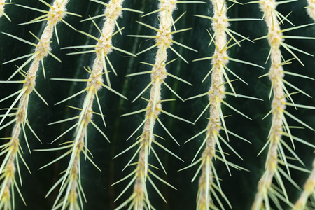 Detail of the Golden barrel cactus (Echinocactus grusonii)