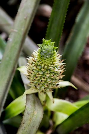 Detail from pineapple plantation in Dambulla, Sri Lanka