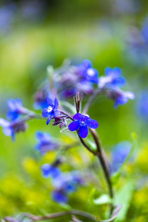 Italian bugloss (Anchusa azurea) flowers in the garden 스톡 콘텐츠