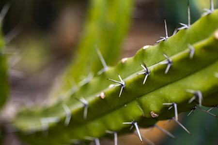 Detail of the Blue Myrtle Cactus (Myrtillocactus geometrizans)