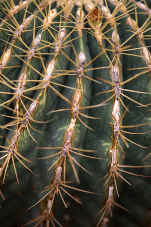 Detail of the Mexican lime cactus (Ferocactus pilosus) Stock Photo