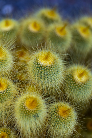 Yellow tower (Parodia leninghausii) cactus Stock Photo