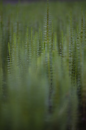 Mare's tail (Hippuris vulgaris) aquatic plant Banco de Imagens - 102566470
