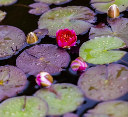 Closeup of the Nymphaea waterlilies in the pond Archivio Fotografico - 102633425