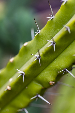 Detail of the Blue Myrtle Cactus (Myrtillocactus geometrizans) Stock Photo - 102633434