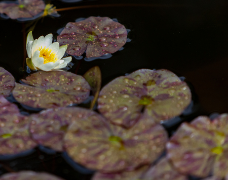 White waterlily (Nymphaea alba) bud in the pond