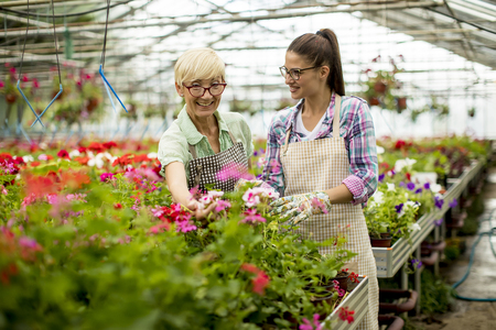 Portrait of senior and young women working together in flower garden at sunny day Stock Photo - 104145230