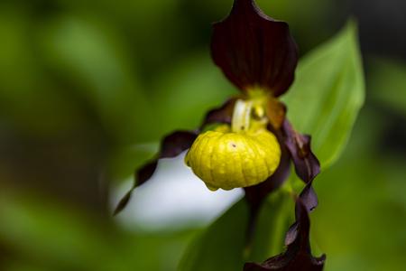 Lady slipper orchid (Cypripedium calceolus) in the garden