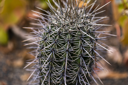 Detail of the saguaro cactus (Carnegiea gigantea)