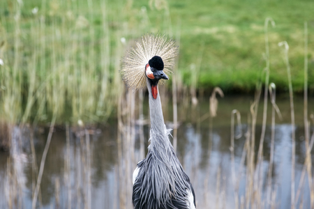 Vi ewat grey crowned crane (Balearica regulorum) on the pond 스톡 콘텐츠