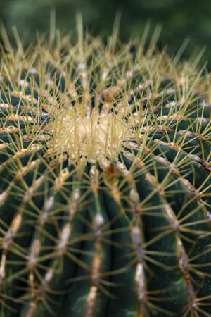 Detail of the Golden barrel cactus (Echinocactus grusonii)