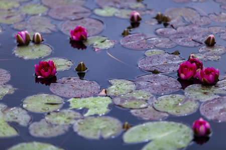 Closeup of the Nymphaea waterlilies in the pond Archivio Fotografico - 103748467