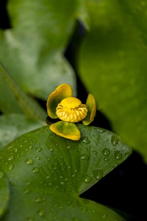 Flower of aquatic bladderwort (Utricularia australis) in the pond