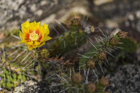 Detail of prickly pear cactus (Opuntia phaeacantha) blooming