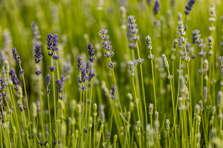 Detail from the lavender (Lavandula angustifolia) field Stock Photo