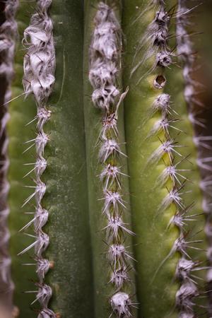 Closeup detail of the cactus Pilocereus leucocephalus