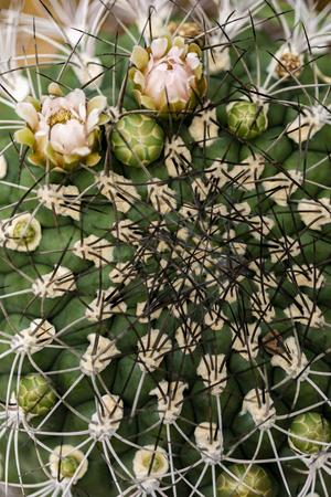 Closeup of the cactus (Gymnocalycium saglionis)