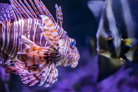 View at single lionfish in the water Stock Photo - 103428250