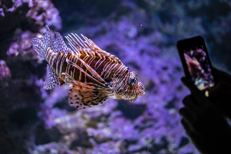 Visitor taking picture of lionfish with mobile phone in the aquarium Stock Photo