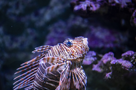 View at single lionfish in the water