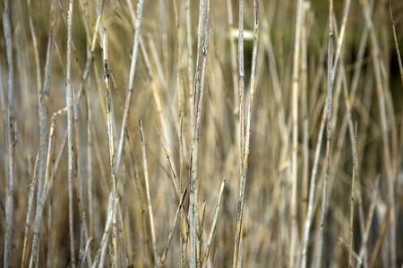 Closeup of the straws by the pond Reklamní fotografie