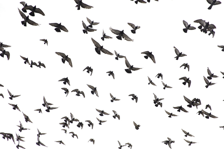 Flock of pigeons flying in the white sky