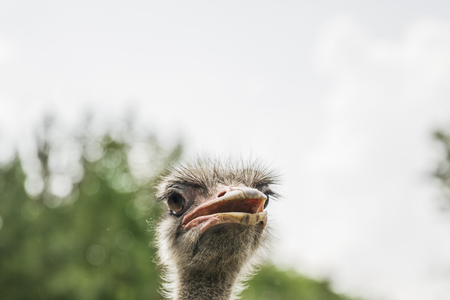 Closeup of the head of an ostrich 写真素材