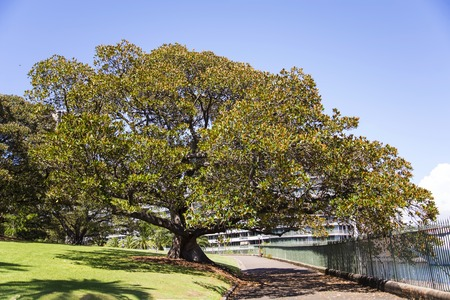 View at Moreton Bay fig on a walkway in Sydney, Australia