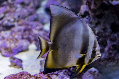 Orbicular batfish (Platax orbicularis) in the water 版權商用圖片