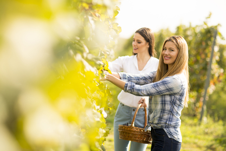 Two young women with basket picking grapes in the vineyard Stock Photo
