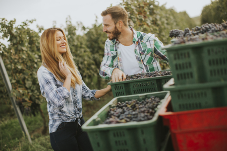 Young couple with a harvest boxes full of grapes in the vineyard