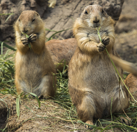Couple of prairie dogs on the ground 스톡 콘텐츠