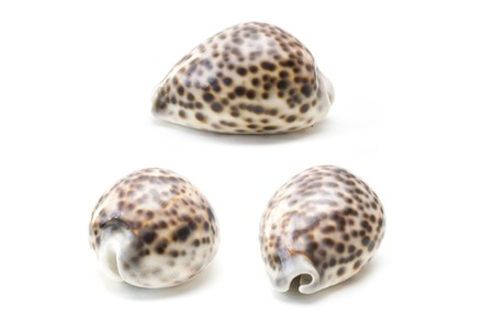 Tiger cowrie (Cypraea tigris) seashell isolated on the white background