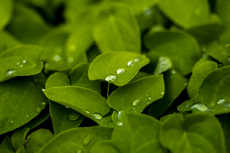 Close up view at water drops on fresh green leaf